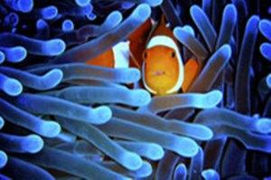 Fish among sea anemones.